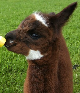 Caleb the Alpaca