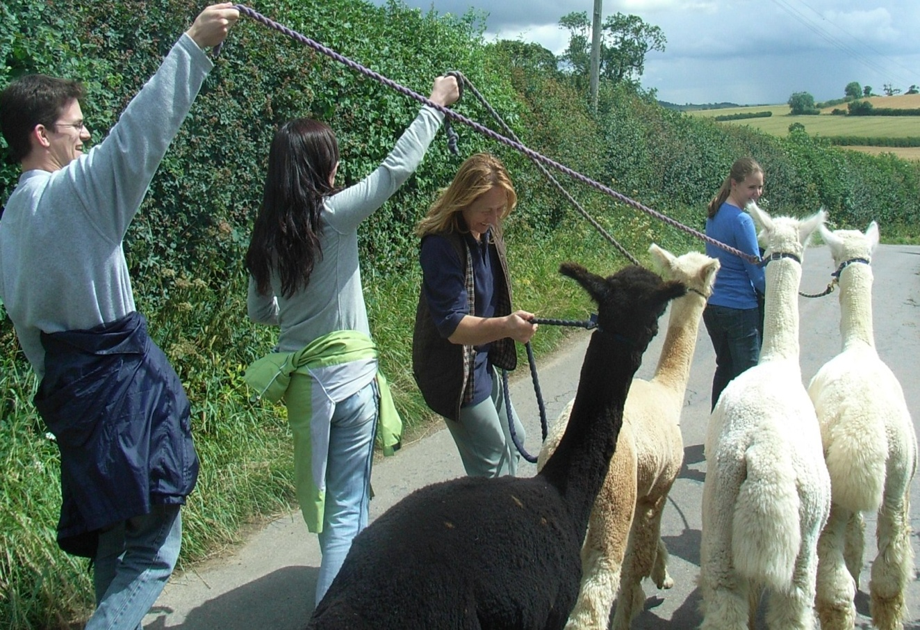 take an alpaca for a walk