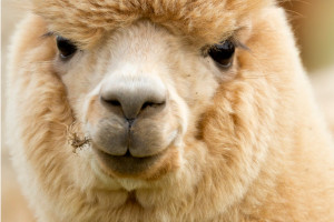 alpaca-stud-services