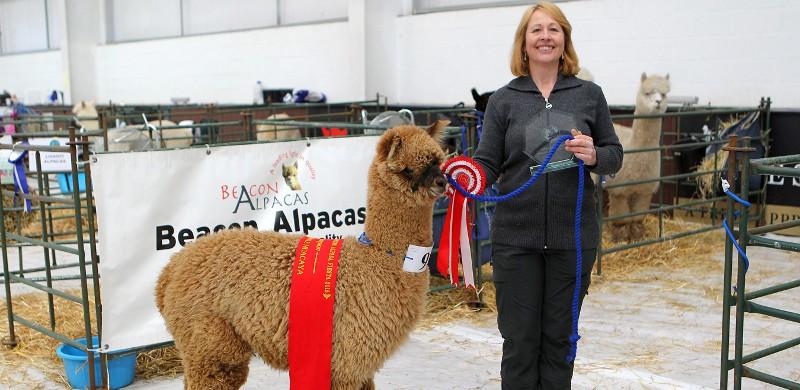 alpacas-for-sale-2