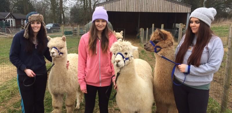 alpaca-walks-yorkshire