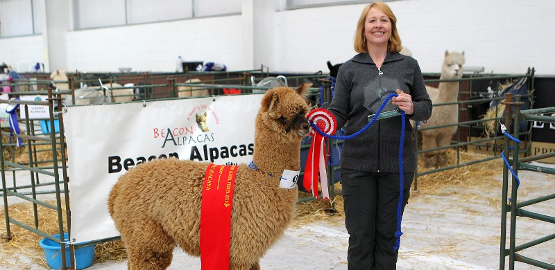 alpacas-for-sale-2