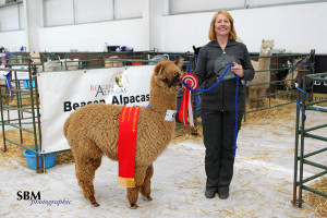 alpacas-for-sale